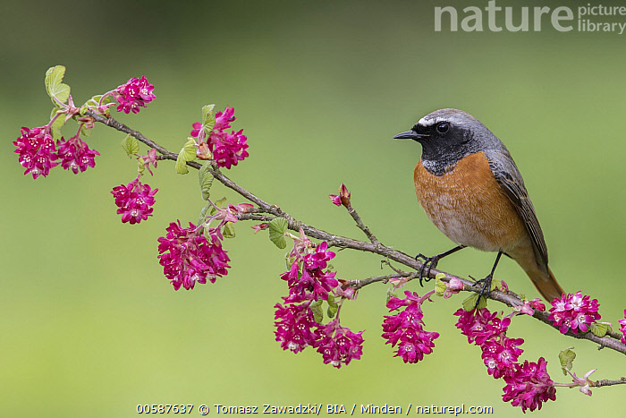 Common Redstart (Phoenicurus phoenicurus) male, Poland, Adult, Color Image, Common Redstart, Day, Full Length, Horizontal, Male, Nobody, One Animal, Outdoors, Phoenicurus phoenicurus, Photography, Poland, Side View, Songbird, Wildlife, Tomasz Zawadzki/ BIA