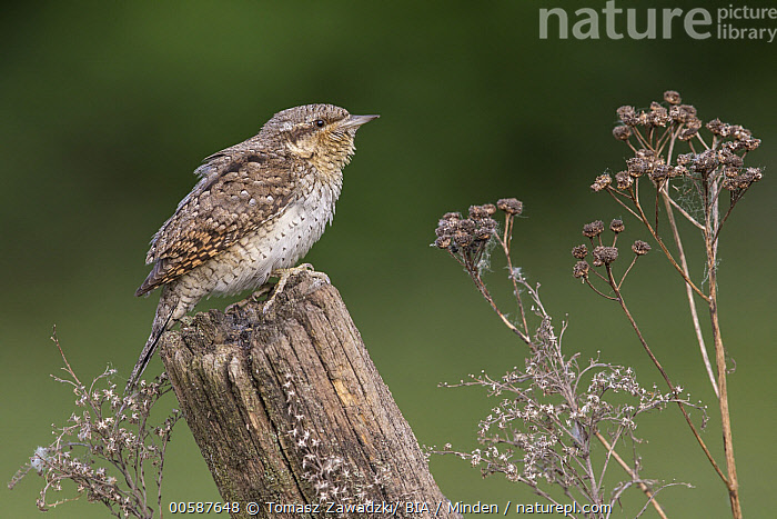 Eurasian Wryneck (Jynx torquilla), Poland  ,  Adult, Color Image, Day, Eurasian Wryneck, Full Length, Horizontal, Jynx torquilla, Nobody, One Animal, Outdoors, Photography, Poland, Side View, Wildlife  ,  Tomasz Zawadzki/ BIA