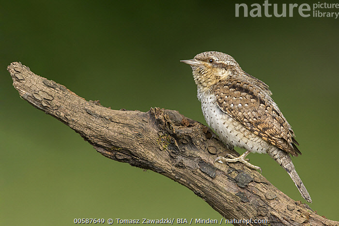 Eurasian Wryneck (Jynx torquilla), Poland, Adult, Color Image, Day, Eurasian Wryneck, Full Length, Horizontal, Jynx torquilla, Nobody, One Animal, Outdoors, Photography, Poland, Side View, Wildlife, Tomasz Zawadzki/ BIA