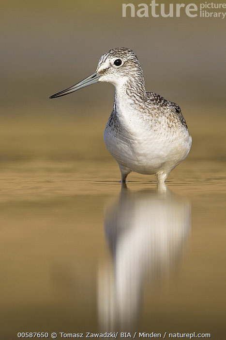 Common Greenshank (Tringa nebularia), Poland, Adult, Color Image, Common Greenshank, Day, Front View, Full Length, Nobody, One Animal, Outdoors, Photography, Poland, Reflection, Shorebird, Tringa nebularia, Vertical, Wildlife, Tomasz Zawadzki/ BIA