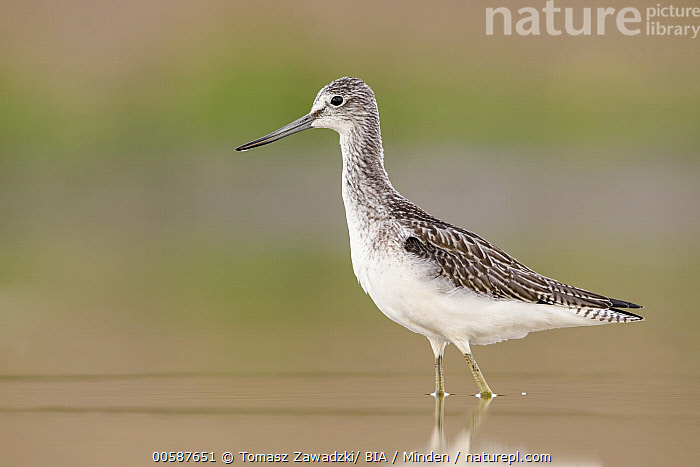 Common Greenshank (Tringa nebularia), Poland, Adult, Color Image, Common Greenshank, Day, Full Length, Horizontal, Nobody, One Animal, Outdoors, Photography, Poland, Shorebird, Side View, Tringa nebularia, Wildlife, Tomasz Zawadzki/ BIA