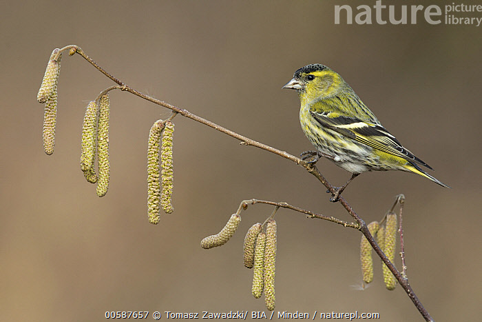 Eurasian Siskin (Carduelis spinus) male, Poland, Adult, Carduelis spinus, Color Image, Day, Eurasian Siskin, Full Length, Horizontal, Male, Nobody, One Animal, Outdoors, Photography, Poland, Side View, Songbird, Wildlife, Tomasz Zawadzki/ BIA