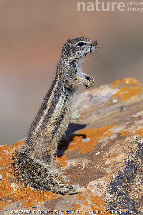 Barbary Ground Squirrel (Atlantoxerus getulus) on alert, Fuerteventura, Spain, Adult, Alert, Atlantoxerus getulus, Barbary Ground Squirrel, Color Image, Day, Fuerteventura, Full Length, Nobody, One Animal, Outdoors, Photography, Side View, Spain, Standing, Upright, Vertical, Wildlife, Tomasz Zawadzki/ BIA