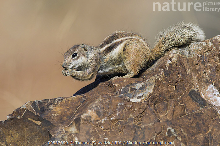 Barbary Ground Squirrel (Atlantoxerus getulus) feeding, Fuerteventura, Spain, Adult, Atlantoxerus getulus, Barbary Ground Squirrel, Color Image, Day, Feeding, Fuerteventura, Full Length, Horizontal, Nobody, One Animal, Outdoors, Photography, Side View, Spain, Wildlife, Tomasz Zawadzki/ BIA