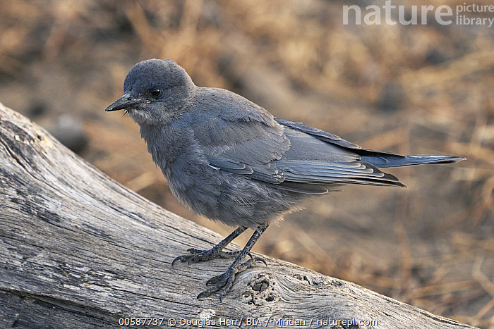 Pinyon Jay (Gymnorhinus cyanocephalus), Oregon  ,  Adult, Color Image, Day, Full Length, Gymnorhinus cyanocephalus, Horizontal, Nobody, One Animal, Oregon, Outdoors, Photography, Pinyon Jay, Side View, Songbird, Threatened Species, Vulnerable Species, Wildlife  ,  Douglas Herr/ BIA