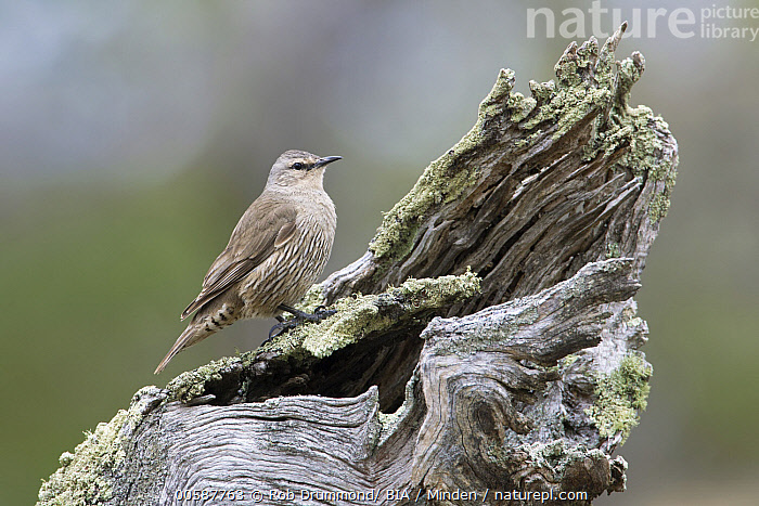 Brown Treecreeper (Climacteris picumnus), Victoria, Australia  ,  Adult, Australia, Brown Treecreeper, Climacteris picumnus, Color Image, Day, Full Length, Horizontal, Nobody, One Animal, Outdoors, Photography, Side View, Songbird, Victoria, Wildlife  ,  Rob Drummond/ BIA