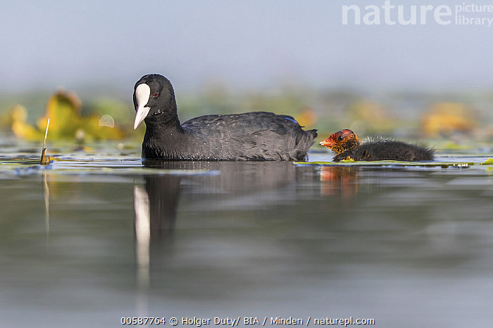 Coot (Fulica atra) parent with chick, Mecklenburg-Vorpommern, Germany, Adult, Baby, Chick, Color Image, Coot, Day, Fulica atra, Full Length, Germany, Horizontal, Mecklenburg-Vorpommern, Nobody, Outdoors, Parent, Photography, Reflection, Side View, Two Animals, Wildlife, Holger Duty/ BIA