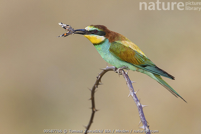 European Bee-eater (Merops apiaster) with butterfly prey, Poland, Adult, Butterfly, Carrying, Color Image, Day, European Bee-eater, Full Length, Horizontal, Merops apiaster, Nobody, One Animal, Outdoors, Photography, Poland, Predator, Prey, Side View, Wildlife, Tomasz Zawadzki/ BIA