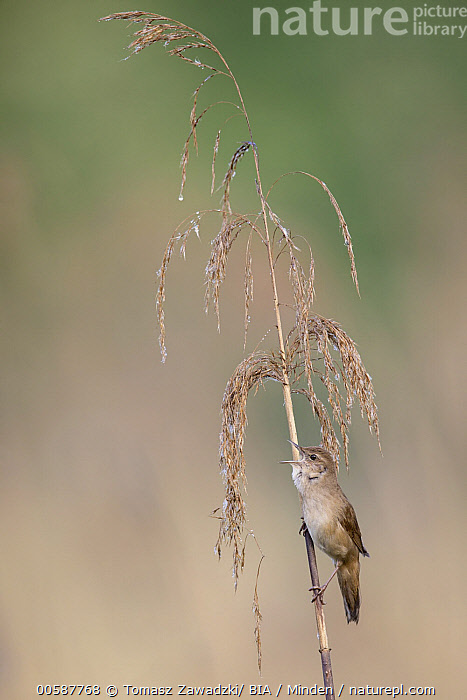 Savi's Warbler (Locustella luscinioides) calling, Poland, Adult, Calling, Color Image, Day, Full Length, Locustella luscinioides, Nobody, One Animal, Open Mouth, Outdoors, Photography, Poland, Savi's Warbler, Side View, Songbird, Vertical, Wildlife, Tomasz Zawadzki/ BIA