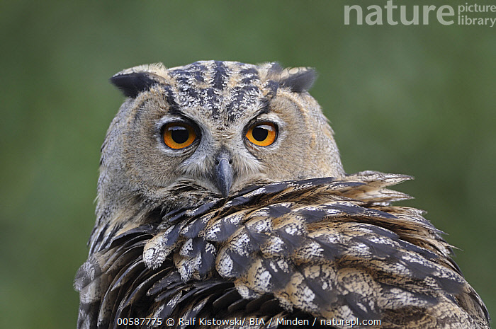 Eurasian Eagle-Owl (Bubo bubo), North Rhine-Westphalia, Germany  ,  Adult, Bubo bubo, Close Up, Color Image, Day, Eurasian Eagle-Owl, Face, Germany, Horizontal, Looking at Camera, Nobody, North Rhine-Westphalia, One Animal, Outdoors, Photography, Raptor, Side View, Waist Up, Wildlife  ,  Ralf Kistowski/ BIA