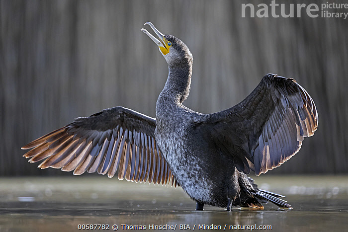 Great Cormorant (Phalacrocorax carbo) drying wings, Hungary  ,  Adult, Color Image, Day, Drying, Full Length, Great Cormorant, Horizontal, Hungary, Nobody, One Animal, Outdoors, Phalacrocorax carbo, Photography, Side View, Spreading Wings, Water Bird, Wildlife  ,  Thomas Hinsche/ BIA