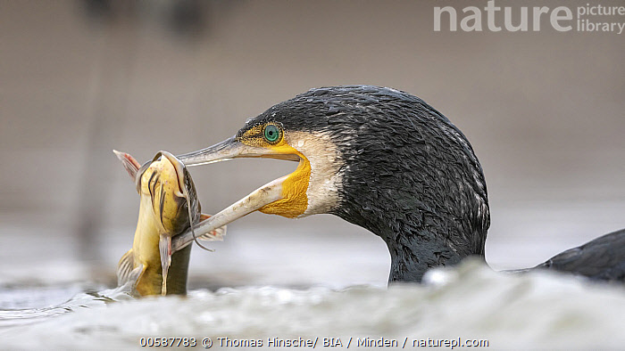 Great Cormorant (Phalacrocorax carbo) with fish prey, Hungary  ,  Adult, Carrying, Close Up, Color Image, Day, Fish, Great Cormorant, Head and Shoulders, Horizontal, Hungary, Nobody, One Animal, Outdoors, Phalacrocorax carbo, Photography, Predator, Prey, Side View, Water Bird, Wildlife  ,  Thomas Hinsche/ BIA