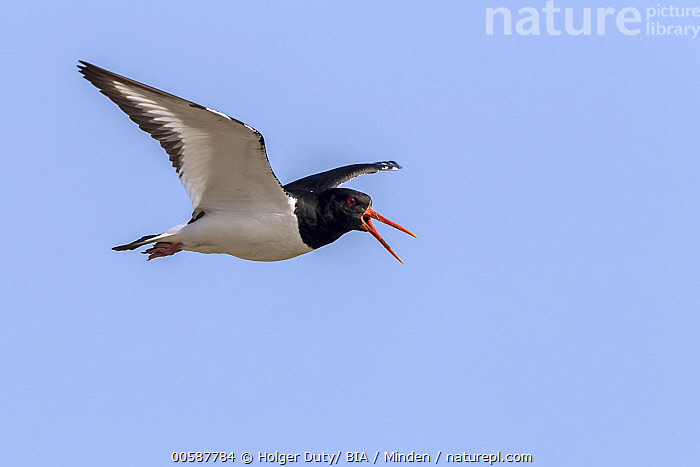 Eurasian Oystercatcher (Haematopus ostralegus) calling while flying, Texel, Netherlands, Adult, Calling, Color Image, Day, Eurasian Oystercatcher, Flying, Full Length, Haematopus ostralegus, Horizontal, Netherlands, Nobody, One Animal, Open Mouth, Outdoors, Photography, Shorebird, Side View, Texel, Wildlife, Holger Duty/ BIA