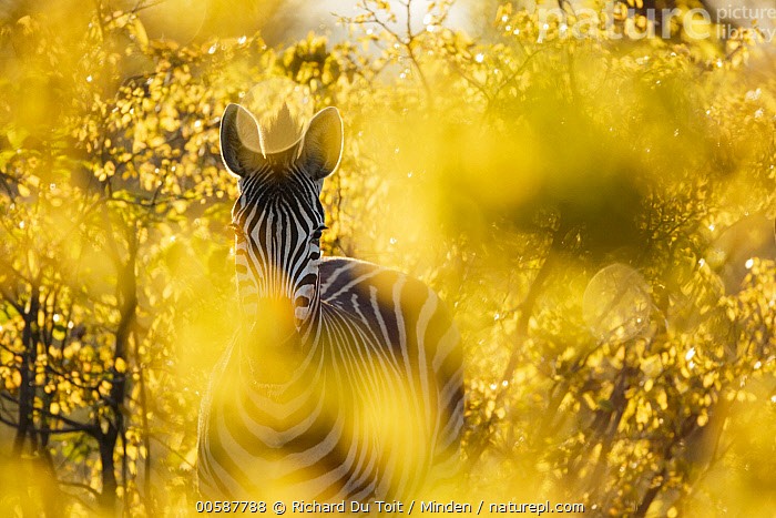 Burchell's Zebra (Equus burchellii) in bushes at sunset, Kruger National Park, South Africa  ,  Adult, Backlighting, Burchell's Zebra, Color Image, Day, Equus burchellii, Front View, Horizontal, Kruger National Park, Looking at Camera, Nobody, One Animal, Outdoors, Photography, South Africa, Sunset, Three Quarter Length, Wildlife, Yellow  ,  Richard Du Toit