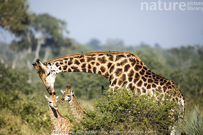 Northern Giraffe (Giraffa camelopardalis) father nuzzling calf, Kruger National Park, South Africa  ,  Adult, Affection, Baby, Bonding, Bull, Calf, Color Image, Day, Father, Five Animals, Giraffa camelopardalis, Head and Shoulders, Horizontal, Kruger National Park, Male, Nobody, Northern Giraffe, Nuzzling, Outdoors, Photography, Side View, South Africa, Tenderness, Three Quarter Length, Touching, Wildlife  ,  Richard Du Toit