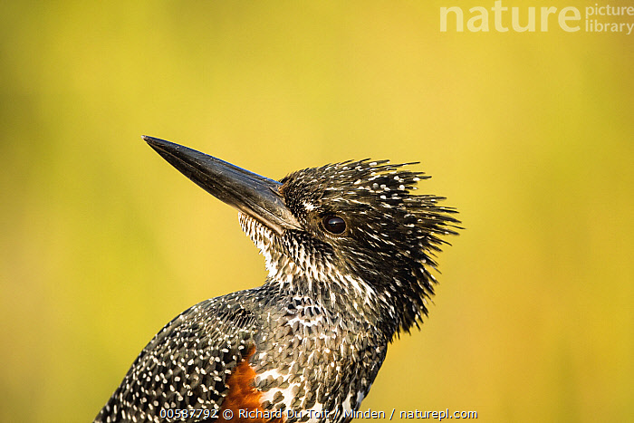 Giant Kingfisher (Megaceryle maxima), Kruger National Park, South Africa, Adult, Color Image, Day, Giant Kingfisher, Horizontal, Kruger National Park, Megaceryle maxima, Nobody, One Animal, Outdoors, Photography, Side View, South Africa, Waist Up, Wildlife, Richard Du Toit