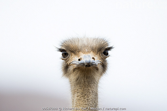 Ostrich (Struthio camelus), Small Karoo, South Africa  ,  Adult, Color Image, Day, Front View, Head, Horizontal, Looking at Camera, Nobody, One Animal, Ostrich, Outdoors, Photography, Portrait, Small Karoo, South Africa, Struthio camelus, Wildlife  ,  Richard Du Toit