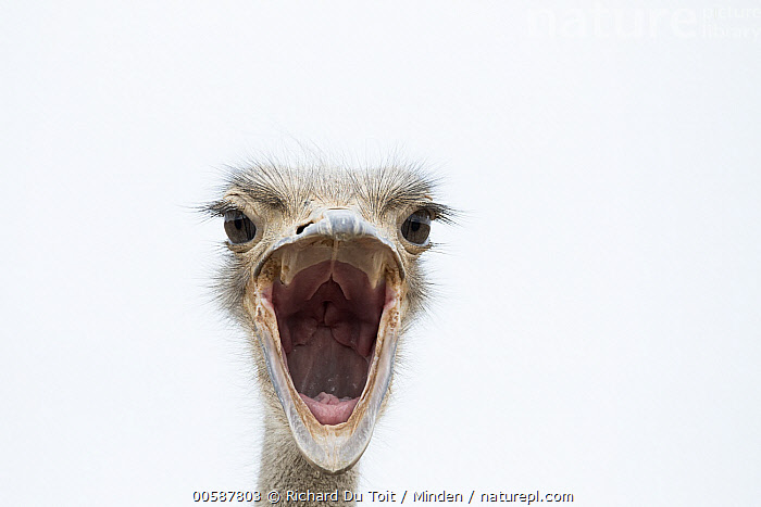 Ostrich (Struthio camelus) in defensive display, Small Karoo, South Africa, Adult, Color Image, Day, Defensive Posture, Displaying, Front View, Head, Horizontal, Looking at Camera, Nobody, One Animal, Open Mouth, Ostrich, Outdoors, Photography, Small Karoo, South Africa, Struthio camelus, Wildlife, Richard Du Toit