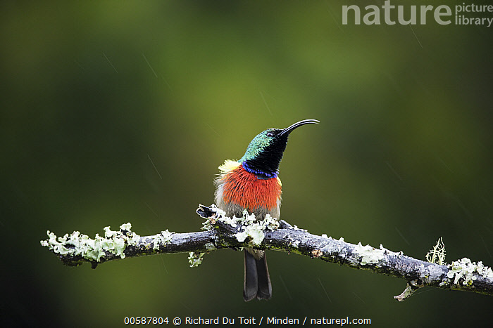 Greater Double-collared Sunbird (Nectarinia afra) during rainfall, Herolds Bay, South Africa, Adult, Color Image, Day, Front View, Full Length, Greater Double-collared Sunbird, Herolds Bay, Horizontal, Nectarinia afra, Nobody, One Animal, Outdoors, Photography, Raining, Songbird, South Africa, Wildlife, Richard Du Toit