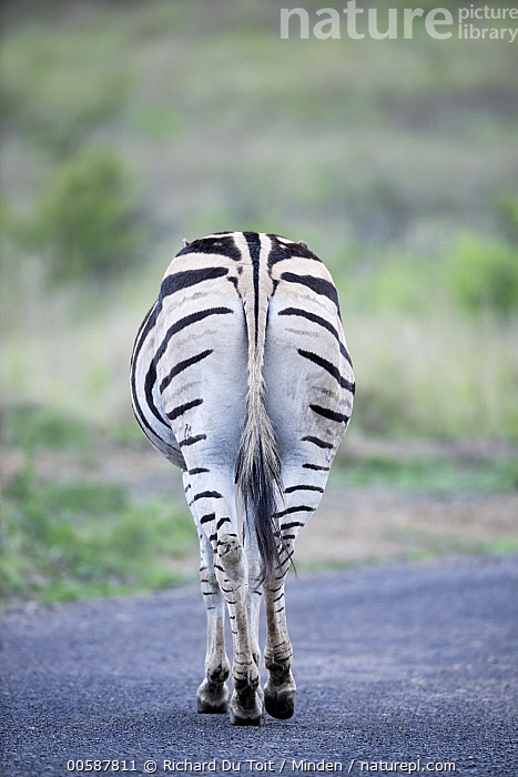 Burchell's Zebra (Equus burchellii) on road, Itala Game Reserve, KwaZulu-Natal, South Africa, Adult, Burchell's Zebra, Butt, Color Image, Crossing, Day, Equus burchellii, Full Length, Itala Game Reserve, KwaZulu-Natal, Nobody, One Animal, Outdoors, Photography, Rear View, Road, South Africa, Vertical, Wildlife, Richard Du Toit