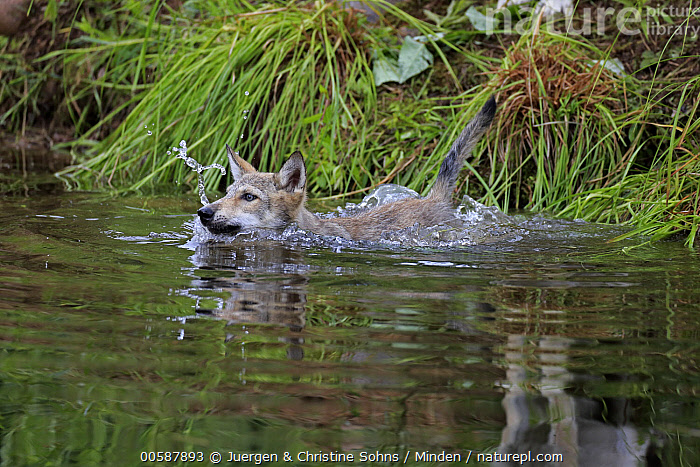 Wolf (Canis lupus) pup swimming, Minnesota Wildlife Connection, Minnesota, Adult, Baby, Canis lupus, Captive, Color Image, Day, Game Farm, Horizontal, Minnesota, Minnesota Wildlife Connection, Nobody, One Animal, Outdoors, Photography, Pup, Side View, Swimming, Waist Up, Wildlife, Wolf, Juergen & Christine Sohns