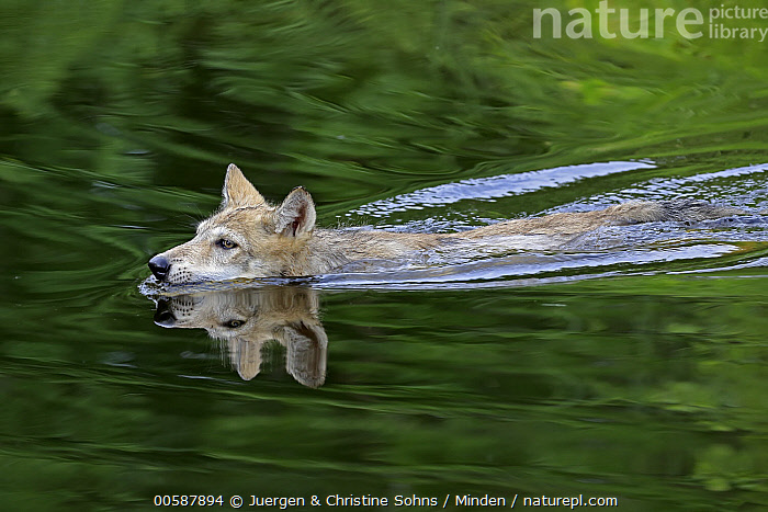 Wolf (Canis lupus) pup swimming, Minnesota Wildlife Connection, Minnesota, Adult, Baby, Canis lupus, Captive, Color Image, Day, Game Farm, Horizontal, Minnesota, Minnesota Wildlife Connection, Nobody, One Animal, Outdoors, Photography, Pup, Reflection, Side View, Swimming, Waist Up, Wildlife, Wolf, Juergen & Christine Sohns