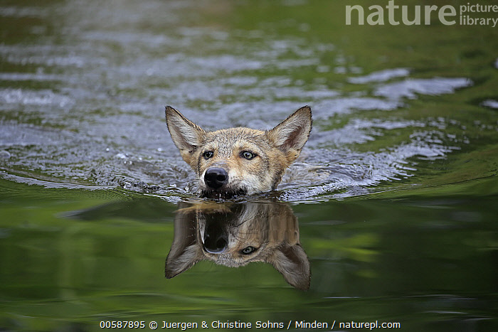 Wolf (Canis lupus) pup swimming, Minnesota Wildlife Connection, Minnesota, Adult, Baby, Canis lupus, Captive, Color Image, Day, Front View, Game Farm, Head, Horizontal, Minnesota, Minnesota Wildlife Connection, Nobody, One Animal, Outdoors, Photography, Pup, Reflection, Swimming, Wildlife, Wolf, Juergen & Christine Sohns