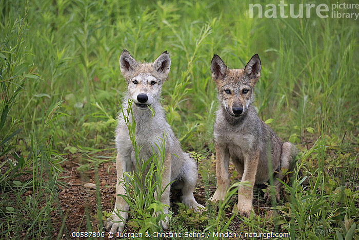Wolf (Canis lupus) pups, Minnesota Wildlife Connection, Minnesota  ,  Adult, Baby, Canis lupus, Captive, Color Image, Day, Front View, Full Length, Game Farm, Horizontal, Looking at Camera, Minnesota, Minnesota Wildlife Connection, Nobody, Outdoors, Photography, Pup, Side View, Two Animals, Wildlife, Wolf  ,  Juergen & Christine Sohns