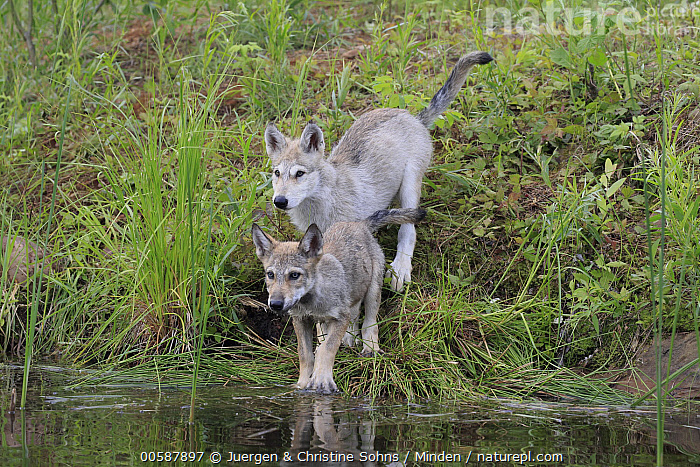 Wolf (Canis lupus) pups, Minnesota Wildlife Connection, Minnesota  ,  Adult, Baby, Canis lupus, Captive, Color Image, Day, Full Length, Game Farm, Horizontal, Minnesota, Minnesota Wildlife Connection, Nobody, Outdoors, Photography, Pup, Side View, Two Animals, Wildlife, Wolf  ,  Juergen & Christine Sohns