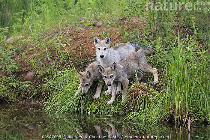 Wolf (Canis lupus) pups, Minnesota Wildlife Connection, Minnesota  ,  Adult, Baby, Canis lupus, Captive, Color Image, Day, Full Length, Game Farm, Horizontal, Looking at Camera, Minnesota, Minnesota Wildlife Connection, Nobody, Outdoors, Photography, Pup, Side View, Three Animals, Wildlife, Wolf  ,  Juergen & Christine Sohns
