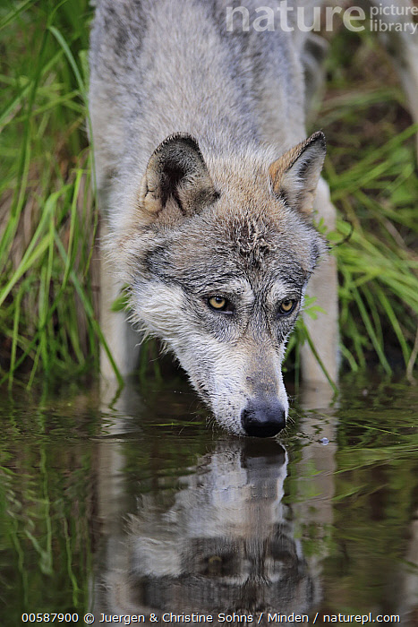 Wolf (Canis lupus) drinking, Minnesota Wildlife Connection, Minnesota  ,  Adult, Canis lupus, Captive, Color Image, Day, Drinking, Front View, Game Farm, Minnesota, Minnesota Wildlife Connection, Nobody, One Animal, Outdoors, Photography, Vertical, Waist Up, Wildlife, Wolf  ,  Juergen & Christine Sohns