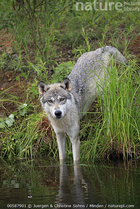 Wolf (Canis lupus), Minnesota Wildlife Connection, Minnesota  ,  Adult, Canis lupus, Captive, Color Image, Day, Full Length, Game Farm, Looking at Camera, Minnesota, Minnesota Wildlife Connection, Nobody, One Animal, Outdoors, Photography, Side View, Vertical, Wildlife, Wolf  ,  Juergen & Christine Sohns
