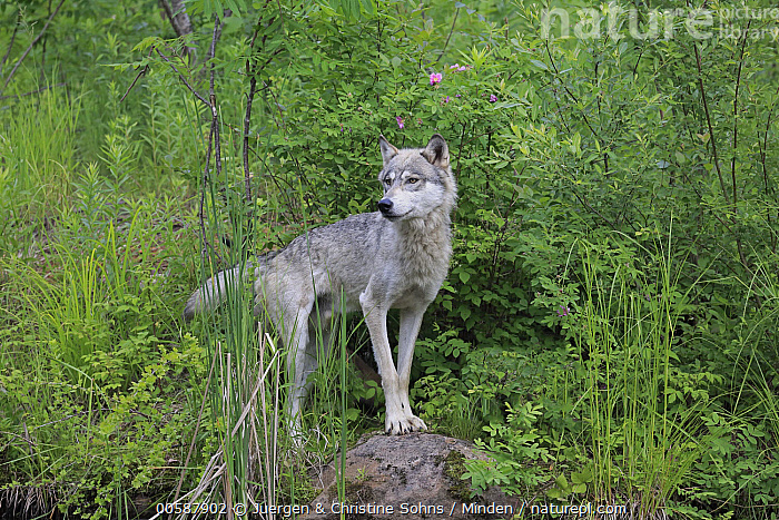 Wolf (Canis lupus), Minnesota Wildlife Connection, Minnesota, Adult, Canis lupus, Captive, Color Image, Day, Full Length, Game Farm, Horizontal, Minnesota, Minnesota Wildlife Connection, Nobody, One Animal, Outdoors, Photography, Side View, Wildlife, Wolf, Juergen & Christine Sohns