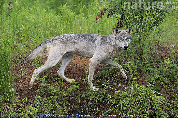 Wolf (Canis lupus), Minnesota Wildlife Connection, Minnesota, Adult, Canis lupus, Captive, Color Image, Day, Full Length, Game Farm, Horizontal, Looking at Camera, Minnesota, Minnesota Wildlife Connection, Nobody, One Animal, Outdoors, Photography, Side View, Wildlife, Wolf, Juergen & Christine Sohns