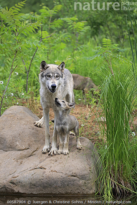 Wolf (Canis lupus) mother and pup, Minnesota Wildlife Connection, Minnesota  ,  Adult, Baby, Canis lupus, Captive, Color Image, Day, Female, Front View, Full Length, Game Farm, Minnesota, Minnesota Wildlife Connection, Mother, Nobody, Outdoors, Parent, Photography, Pup, Side View, Three Animals, Vertical, Wildlife, Wolf, Young  ,  Juergen & Christine Sohns