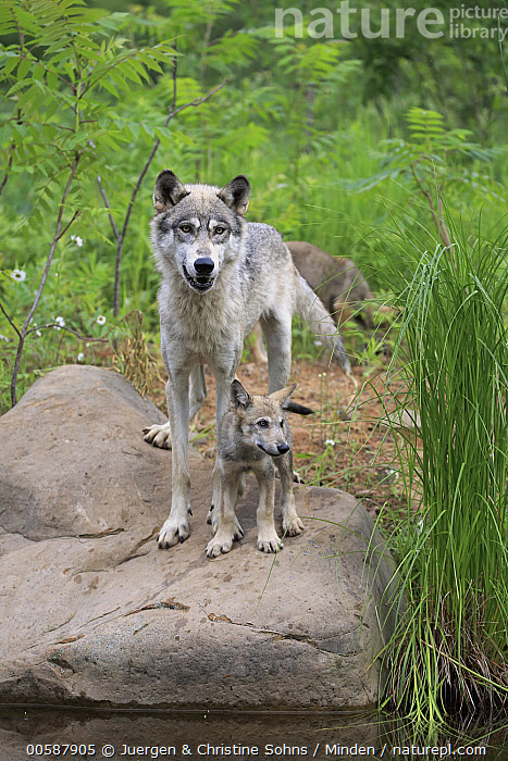 Wolf (Canis lupus) mother and pup, Minnesota Wildlife Connection, Minnesota, Adult, Baby, Canis lupus, Captive, Color Image, Day, Female, Front View, Full Length, Game Farm, Minnesota, Minnesota Wildlife Connection, Mother, Nobody, Outdoors, Parent, Photography, Pup, Three Animals, Vertical, Wildlife, Wolf, Young, Juergen & Christine Sohns