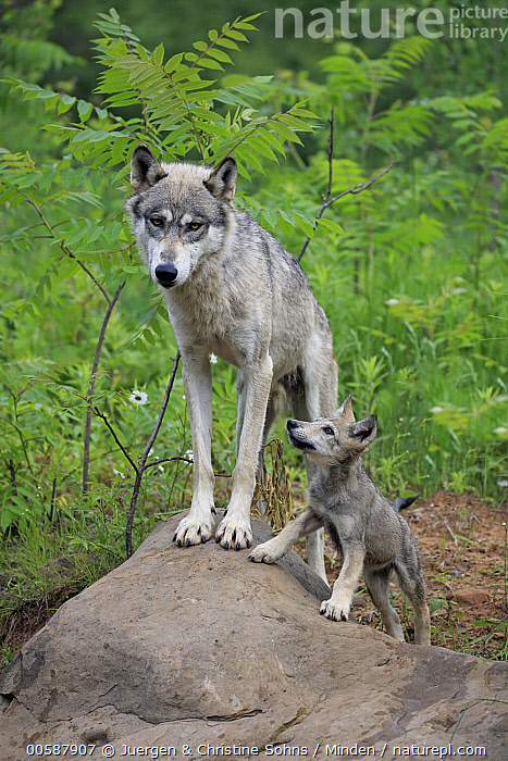 Wolf (Canis lupus) mother and pup, Minnesota Wildlife Connection, Minnesota  ,  Adult, Baby, Canis lupus, Captive, Color Image, Day, Female, Full Length, Game Farm, Minnesota, Minnesota Wildlife Connection, Mother, Nobody, Outdoors, Parent, Photography, Pup, Side View, Two Animals, Vertical, Wildlife, Wolf, Young  ,  Juergen & Christine Sohns