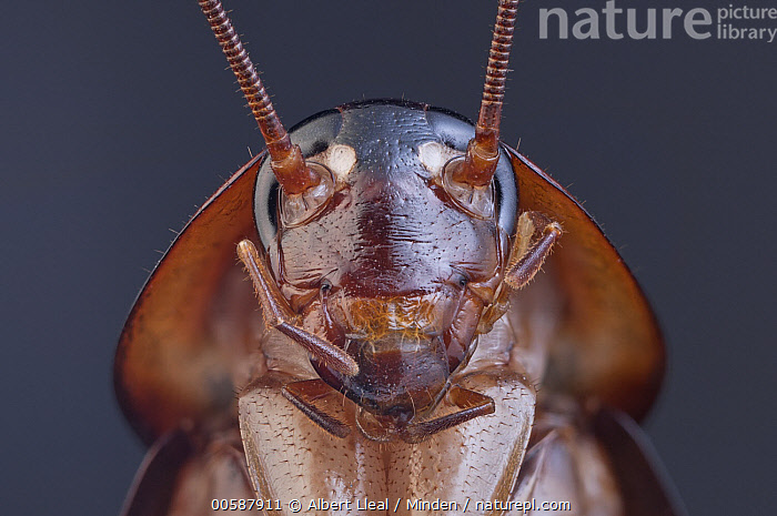 American Cockroach (Periplaneta americana), 2.1x magnification, Barcelona, Spain, Adult, American Cockroach, Barcelona, Color Image, Day, Front View, Head and Shoulders, Horizontal, Looking at Camera, Nobody, One Animal, Outdoors, Periplaneta americana, Photography, Portrait, Spain, Ugly, Wildlife, Albert Lleal