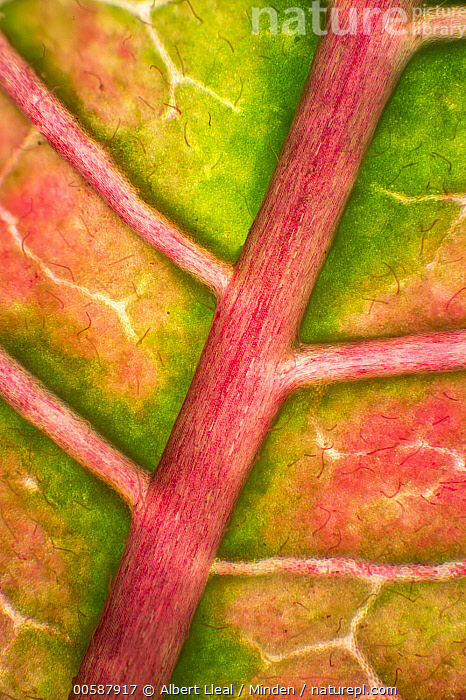 Poinsettia (Euphorbia pulcherrima) leaf, 2x magnification, showing rib and veination, Barcelona, Spain  ,  Barcelona, Color Image, Day, Detail, Euphorbia pulcherrima, Full Frame, Leaf, Line, Magnification, Nobody, Outdoors, Photography, Poinsettia, Red, Spain, Vertical  ,  Albert Lleal