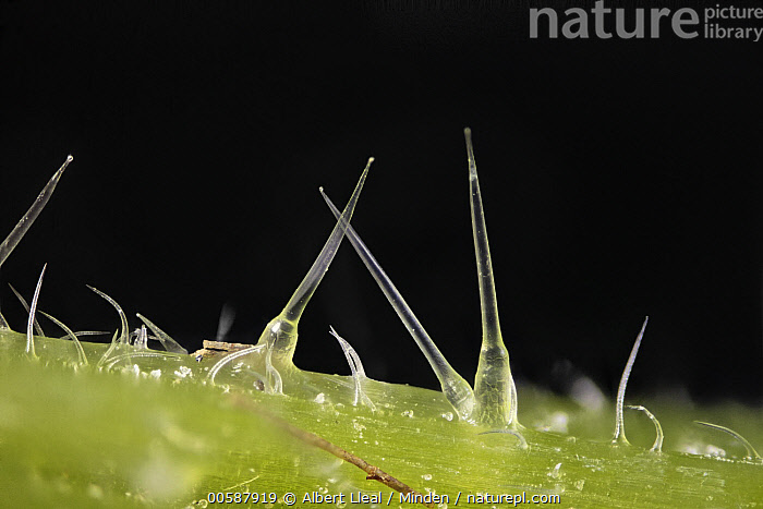 Stinging Nettle (Urtica dioica) trichomes, 13x magnification, Barcelona, Spain, Barcelona, Color Image, Day, Defensive, Horizontal, Magnification, Nobody, Outdoors, Photography, Spain, Spike, Stinging Nettle, Trichome, Urtica dioica, Albert Lleal