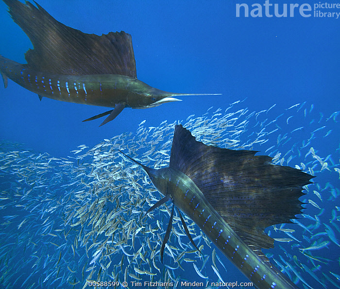 Atlantic Sailfish (Istiophorus albicans) pair hunting Round Sardinella (Sardinella aurita) school, Isla Mujeres, Mexico, Adult, Atlantic Sailfish, Color Image, Day, Full Length, Horizontal, Hunting, Isla Mujeres, Istiophorus albicans, Large Group of Animals, Mexico, Nobody, Outdoors, Photography, Predator, Prey, Round Sardinella, Sardinella aurita, School, Side View, Three Quarter Length, Underwater, Wildlife, Tim Fitzharris