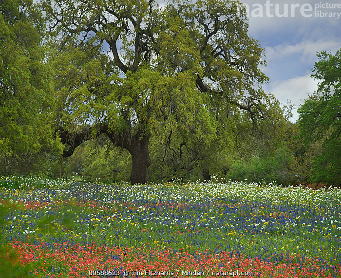 Southern Live Oak (Quercus virginiana) tree and wildflowers, Texas  ,  Color Image, Day, Horizontal, Landscape, Nobody, Outdoors, Photography, Quercus virginiana, Southern Live Oak, Square, Texas, Tree, Wildflower  ,  Tim Fitzharris