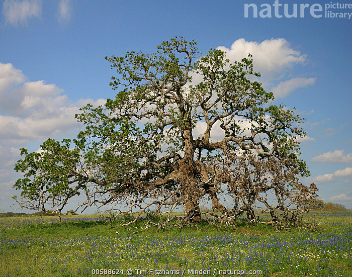 Southern Live Oak (Quercus virginiana) tree, Texas  ,  Blue Sky, Color Image, Day, Horizontal, Landscape, Lone, Nobody, One Object, Outdoors, Photography, Quercus virginiana, Solidary, Southern Live Oak, Square, Texas, Tree  ,  Tim Fitzharris