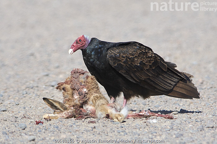 Turkey Vulture (Cathartes aura) feeding on Patagonian Mara (Dolichotis patagonum) carcass, Chubut, Argentina, Adult, Argentina, Cathartes aura, Carcass, Chubut, Color Image, Day, Dead, Death, Dolichotis patagonum, Feeding, Full Length, Horizontal, Nobody, One Animal, Outdoors, Patagonian Mara, Photography, Raptor, Scavenger, Scavenging, Side View, Turkey Vulture, Wildlife, Agustin Esmoris