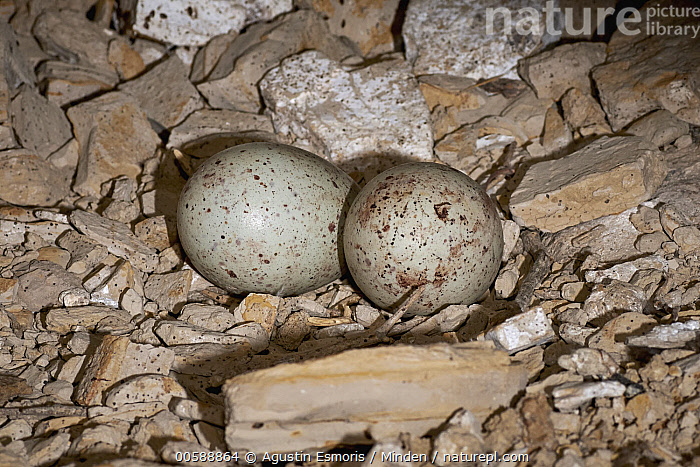 Turkey Vulture (Cathartes aura) eggs in nest, Chubut, Argentina, Adult, Argentina, Cathartes aura, Chubut, Color Image, Day, Egg, Full Length, Horizontal, Nest, Nobody, Outdoors, Photography, Raptor, Side View, Turkey Vulture, Two Objects, Wildlife, Agustin Esmoris