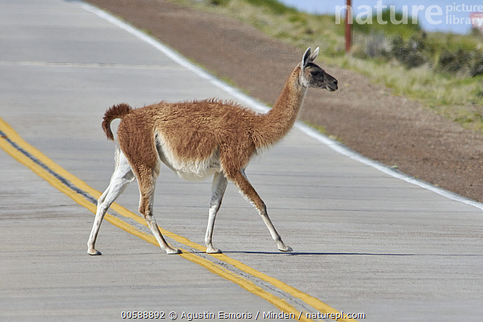 Guanaco (Lama guanicoe) crossing road, Chubut, Argentina  ,  Adult, Argentina, Chubut, Color Image, Crossing, Day, Encroaching, Environmental Issue, Full Length, Guanaco, Habitat Loss, Horizontal, Lama guanicoe, Nobody, One Animal, Outdoors, Photography, Road, Side View, Wildlife  ,  Agustin Esmoris