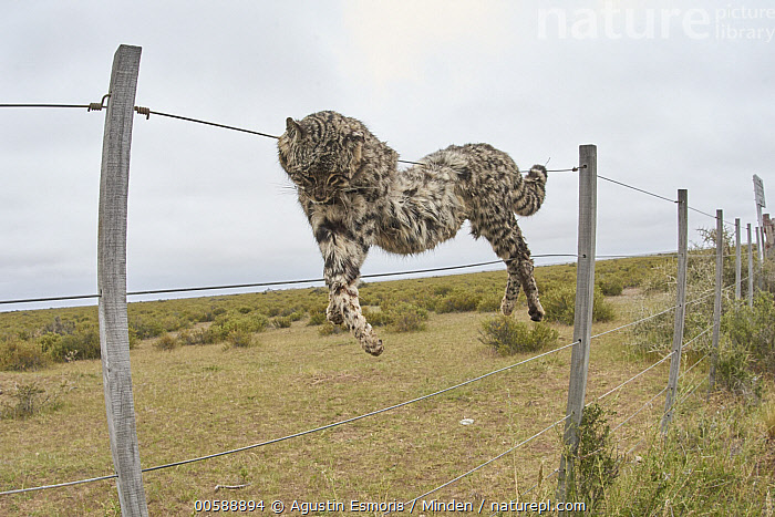 Geoffroy's Cat (Leopardus geoffroyi) hanging on fence after being killed by farmers, Chubut, Argentina  ,  Adult, Argentina, Chubut, Color Image, Day, Dead, Death, Environmental Issue, Fence, Full Length, Geoffroy's Cat, Hanging, Horizontal, Leopardus geoffroyi, Nobody, One Animal, Outdoors, Photography, Poaching, Side View, Wildlife  ,  Agustin Esmoris