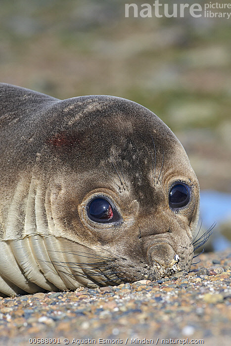 Southern Elephant Seal (Mirounga leonina) pup, Chubut, Argentina  ,  Argentina, Baby, Chubut, Color Image, Day, Head and Shoulders, Looking at Camera, Marine Mammal, Mirounga leonina, Nobody, One Animal, Outdoors, Photography, Portrait, Pup, Side View, Southern Elephant Seal, Vertical, Wildlife  ,  Agustin Esmoris
