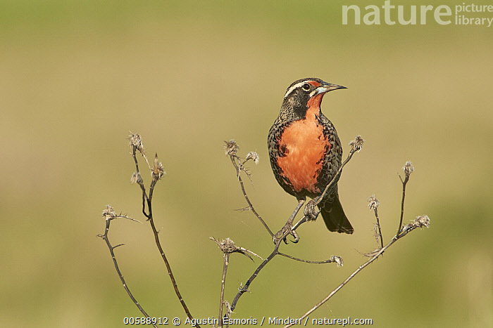 Long-tailed Meadowlark (Leistes loyca), Buenos Aires, Argentina, Adult, Argentina, Buenos Aires, Color Image, Day, Front View, Full Length, Horizontal, Leistes loyca, Long-tailed Meadowlark, Nobody, One Animal, Outdoors, Photography, Songbird, Wildlife, Agustin Esmoris