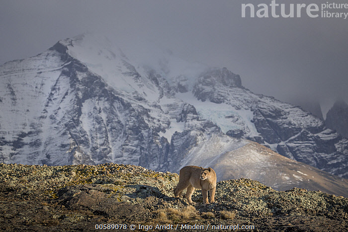 Mountain Lion (Puma concolor) female and mountains, Torres del Paine National Park, Patagonia, Chile  ,  Adult, Chile, Color Image, Day, Female, Full Length, Horizontal, Mountain, Mountain Range, Mountain Lion, Nobody, One Animal, Outdoors, Patagonia, Photography, Puma concolor, Side View, Torres Del Paine National Park, Wildlife  ,  Ingo Arndt